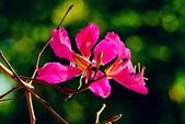 燕紫荊.:DSCN9892_副本.jpg