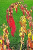 紅藜.:DSCN5588_副本.jpg