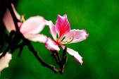 紫荊:DSC_3807.JPG
