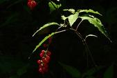 珍珠一串紅:DSCN9497.JPG