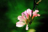 紫荊:DSC_3806.JPG
