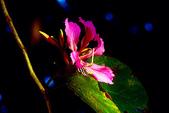 燕紫荊.:DSCN9865_副本.jpg