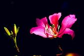 燕紫荊.:DSCN9872_副本.jpg