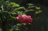 玫瑰花:DSC_6222.JPG