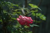 玫瑰花:DSC_6223.JPG