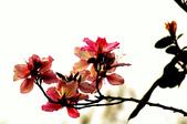 紫荊:DSC_3826.JPG