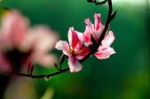 紫荊:DSC_3795.JPG