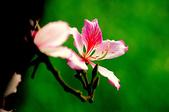紫荊:DSC_3808.JPG