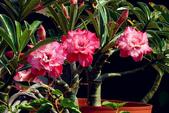 沙漠玫瑰:DSCN4756_副本.jpg