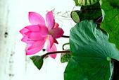 蓮花:DSCN1781_副本.jpg