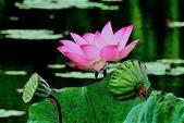 蓮花:DSCN1793_副本.jpg