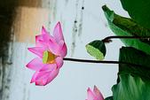 蓮花:DSCN1802_副本.jpg