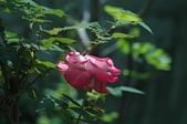 玫瑰花:DSC_6224.JPG