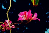 燕紫荊.:DSCN9861_副本.jpg