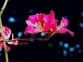 燕紫荊.:DSCN9863_副本.jpg