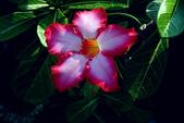 沙漠玫瑰:DSCN4745_副本.jpg