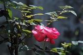 玫瑰花:DSC_6229.JPG