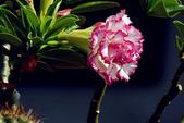 沙漠玫瑰:DSCN4758_副本.jpg