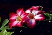 沙漠玫瑰:DSCN4761_副本.jpg