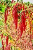 紅藜.:DSCN5569_副本.jpg