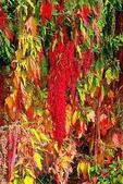 紅藜.:DSCN5574_副本.jpg
