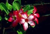 沙漠玫瑰:DSCN4747_副本.jpg