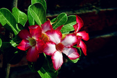 沙漠玫瑰:DSCN4751_副本.jpg