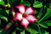 沙漠玫瑰:DSCN4753_副本.jpg