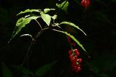 珍珠一串紅:DSCN9498.JPG