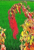紅藜.:DSCN5580_副本.jpg