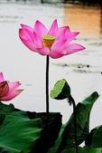 蓮花:DSCN1800_副本.jpg