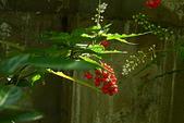珍珠一串紅:DSCN9507.JPG