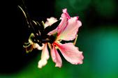 紫荊:DSC_3811.JPG