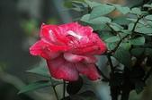 玫瑰花:DSC_6241.JPG