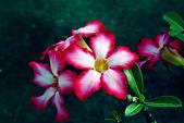 沙漠玫瑰:DSCN4742_副本.jpg