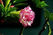 沙漠玫瑰:DSCN4757_副本.jpg