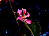 燕紫荊.:DSCN9855_副本.jpg