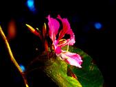 燕紫荊.:DSCN9866_副本.jpg