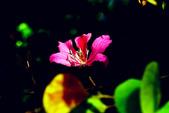 燕紫荊.:DSCN9880_副本.jpg