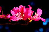 燕紫荊.:DSCN9891_副本.jpg