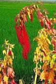 紅藜.:DSCN5581_副本.jpg