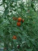 金龍溫室-綠蘆筍:3155.jpg