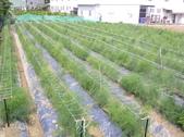 OKㄝ鮮Q綠蘆筍園(三):2013.08.16架網.JPG