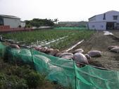 OKㄝ鮮Q綠蘆筍園(三):椰纖屑2220公斤.JPG