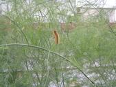 OKㄝ鮮Q綠蘆筍園(三):有蟲蟲危機.JPG