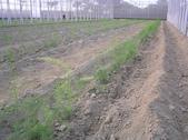 金龍溫室-綠蘆筍:溫室11.14.JPG