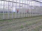 金龍溫室-綠蘆筍:102.11.14.JPG