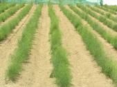OKㄝ鮮Q綠蘆筍園(三):中耕除草整畦完成102.07.29.JPG