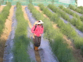 金龍溫室-綠蘆筍:2013.08.06