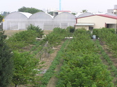 金龍溫室-綠蘆筍:新化188.JPG